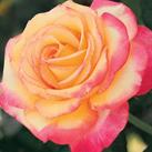 rose inspiration.jpg